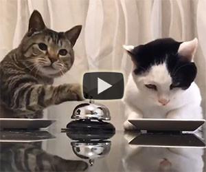 Ecco cosa fanno questi due gatti quando hanno fame