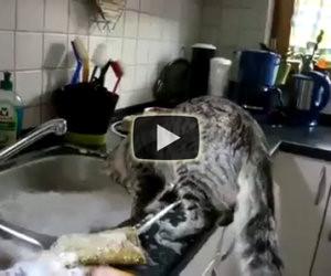 Ecco come questo gatto lava i piatti ogni giorno
