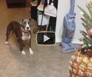 Pitbull terrorizzato da un ananas