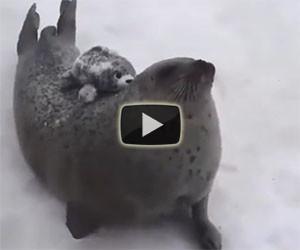 Questo è quello che fa una foca quando ha fame