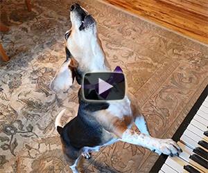 Ecco un cane che suona il pianoforte e canta