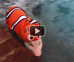 Questo maialino si crede Nemo