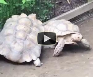 Una tartaruga resta incastrata, guardate cosa fa la sua amica