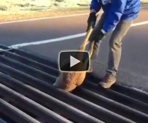 Un canguro è intrappolato nella grata, ecco come viene salvato