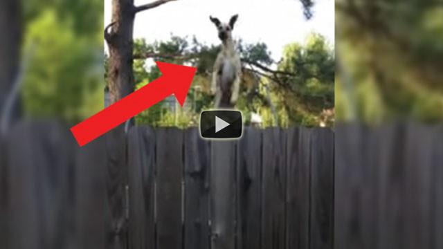 Un alano salta sul trampolino per spiare i vicini