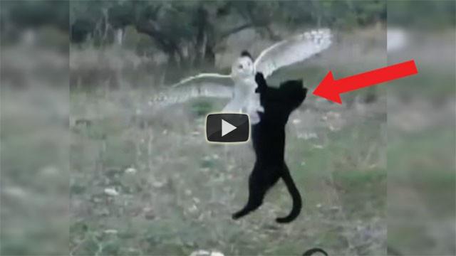 Gatto e barbagianni migliori amici, ecco come giocano insieme