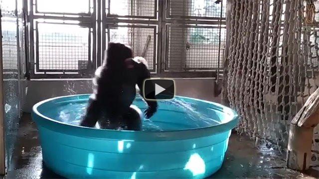 Il gorilla che balla in piscina migliorerà la vostra giornata
