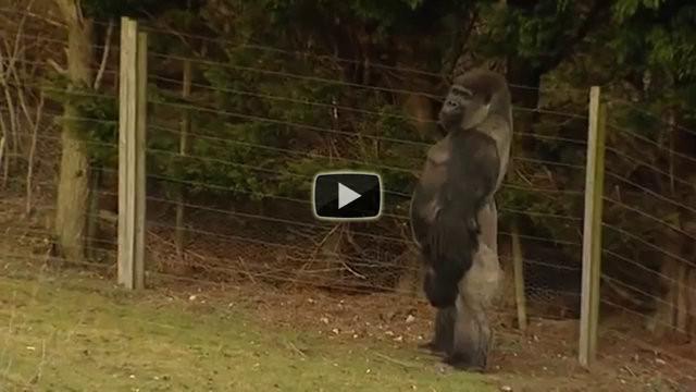 Questo gorilla è diventato famoso? Il motivo, guardatelo in questo video