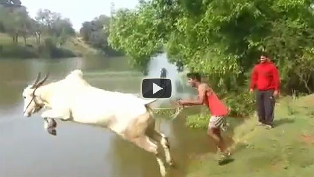 Una mucca prova ad insegnare ad un uomo a nuotare