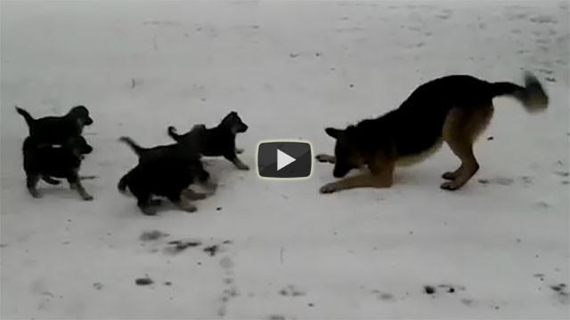 Un pastore tedesco gioca con i suoi cuccioli, che tenerezza!