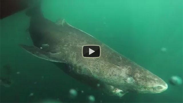 Questo squalo detiene un record veramente incredibile, ecco quale...