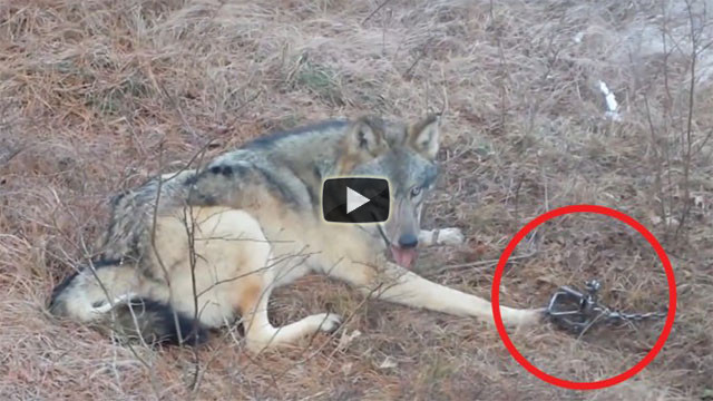 Il lupo è finito nella trappola, ecco il suo rischioso salvataggio
