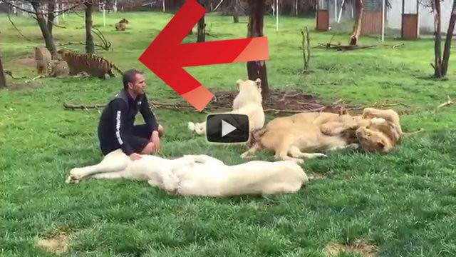 Una tigre salva il suo addestratore dall'attacco di un leopardo
