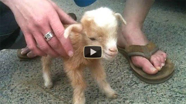 Ecco tutta la simpatia delle caprette racchiusa in un video
