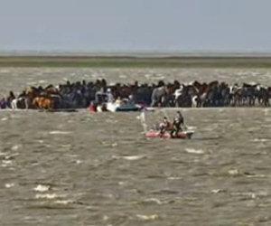 100 cavalli restano intrappolati su un'isola, ecco come li liberano