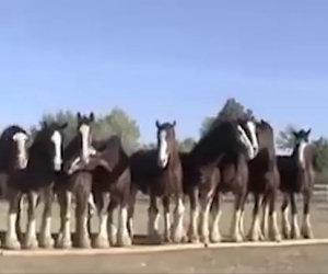 Mettono 11 cavalli in fila, ciò che succede è incredibile