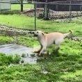Cane fa tip tap sulla pozzanghera e si diverte un mondo