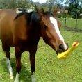 Cavallo si diverte giocando con una gallina di gomma