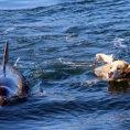 Delfino e labrador nuotano insieme