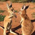 Due piccoli canguri giocano tra loro, sono davvero adorabili!