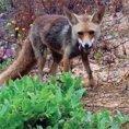 Dà da mangiare ad una volpe, lei ricambia facendogli una sorpresa