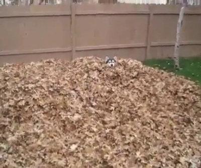 Husky gioca con una montagna di foglie