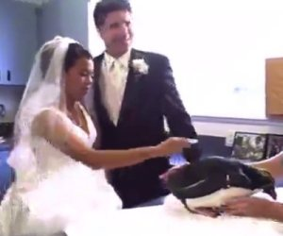 Pinguino fa pipì sulla sposa