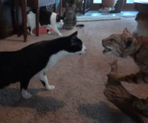 4 gatti contro una lince imbalsamata