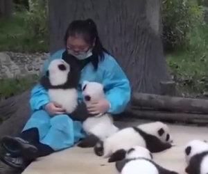 Il lavoro più dolce del mondo: abbracciare e coccolare i panda