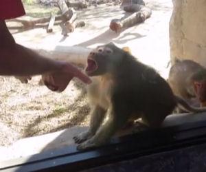 Fa un gioco di magia di fronte a un babbuino, guardate la sua reazione!