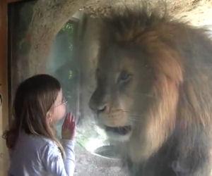 Bimba cerca di dare un bacio al leone, la sua reazione è incredibile