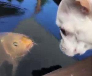 Un'amicizia che non conosce ostacoli quella tra una carpa e un bulldog