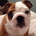 Bulldog felice per il nuovo letto