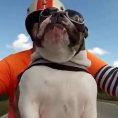 Bulldog motociclista saluta la gente