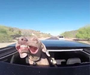 Cane ama viaggiare in auto