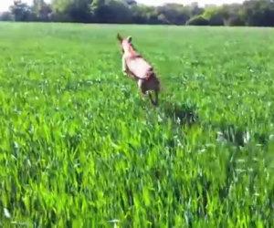 Un cane confuso crede di essere diventato un canguro