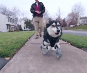 Il cane che corre felice sulle sue nuove zampe stampate in 3D