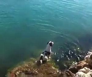 Un cane aspetta i suoi amici delfini a riva e poi nuota con loro