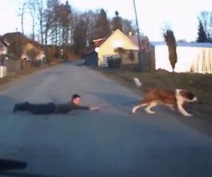 Un cane enorme porta a passeggio il proprio padrone, trascinandolo