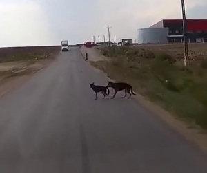 Il cane salva l'amico che sta per essere investito da un'auto