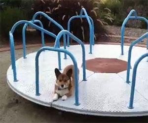 Il cane aspetta impaziente sulla giostra, lui si diverte così!