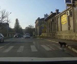 Cane usa le strisce pedonali