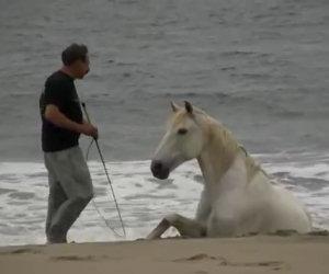 Cavalli si rotolano nella sabbia, giocando liberi con il loro padrone