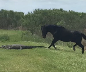 Il cavallo nota un alligatore, il suo intervento è fulmineo e potente
