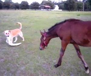 Il cane afferra uno straccio, ecco la reazione del cavallo
