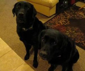 Chi ha rubato il biscotto? Guardate la risposta del cane a sinistra