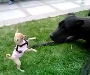 Chihuahua contro un alano