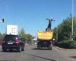 Come non trasportare un cervo gigante