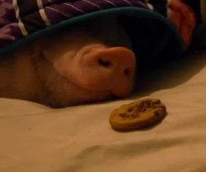 Come svegliare un maiale che dorme