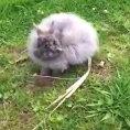 Coniglio selvatico attacca un uomo